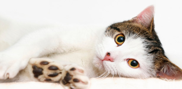 Котките като домашни любимци