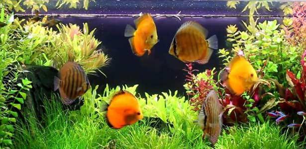 Рибите като домашни любимци